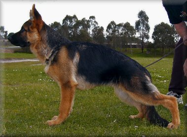 Spellbinda Kanu Prince. (Munch) 20 weeks old. Dam: Spellbinda High Society.