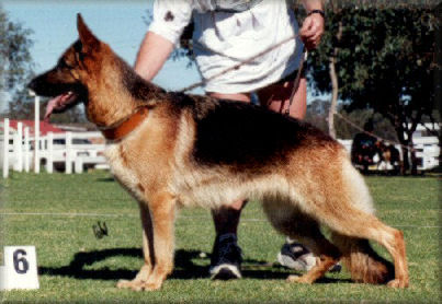 Bodecka Bolly. CD. Cl. 1. 'A'Z' 6th VA at the 1996 Main Breed Exhibition