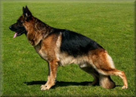 Ch. *Bodecka Grandslam (Louie)  3.5 years old
